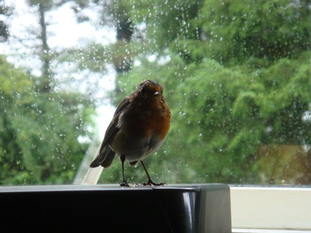 Cheesus, my tame Robin on my printer, looking for his daily cheese crumbs.  Picture taken by Abbey Kaos.