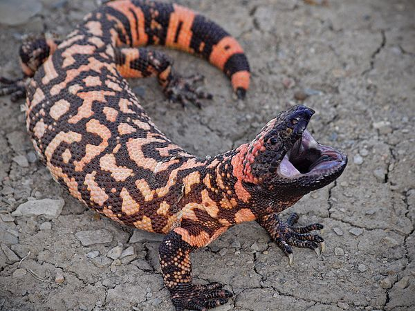 Photograph - Gila Monster Attack by Donnie Barnett