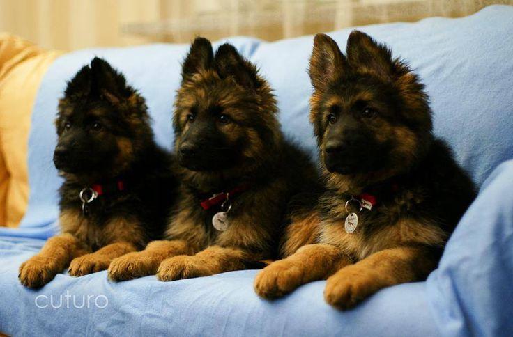 Best Dog Food For German Shepherds At Petsmart