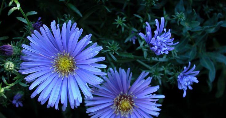 Plantas perennes con flores similares a las margaritas. La familia de las flores asteraceae (mejor conocidas como la familia de las margaritas) se compone de cerca de 20.000 especies. Las flores de esta familia tienen típicamente flores en forma de margarita, con pétalos largos y delgados que rodean un centro en forma de cono o varios pétalos que constituyen una forma de disco sin centro prominente. ...