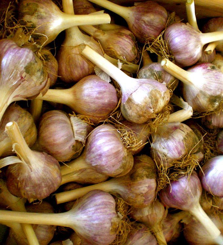 Fresh garlic, perfect for winter @ S & C Fiolo or Hamel Homegrown Organics.