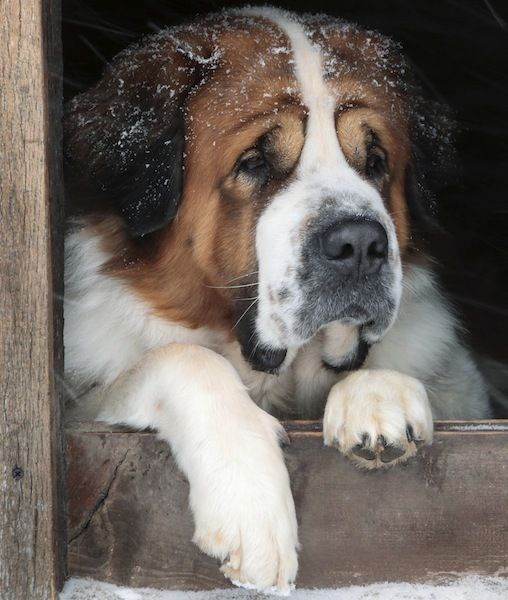 St. Bernard....who couldn't love that big smooshy face.