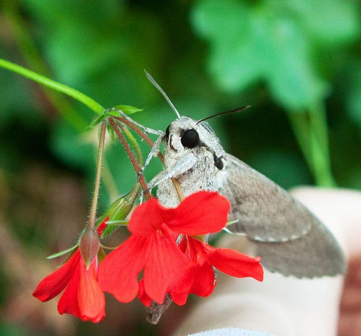 V týchto dňoch vídame kŕdle vtákov, ktoré sa chystajú na dlhší výlet. Je to pre nás samozrejmosť. No nie každý vie, že cestovateľmi sú i motýle – napríklad lišaj pupencový. Jeho krehké kríd…