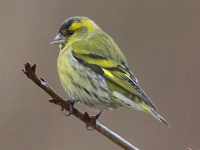 Lipová cestička: Naši ptáci čížek lesní