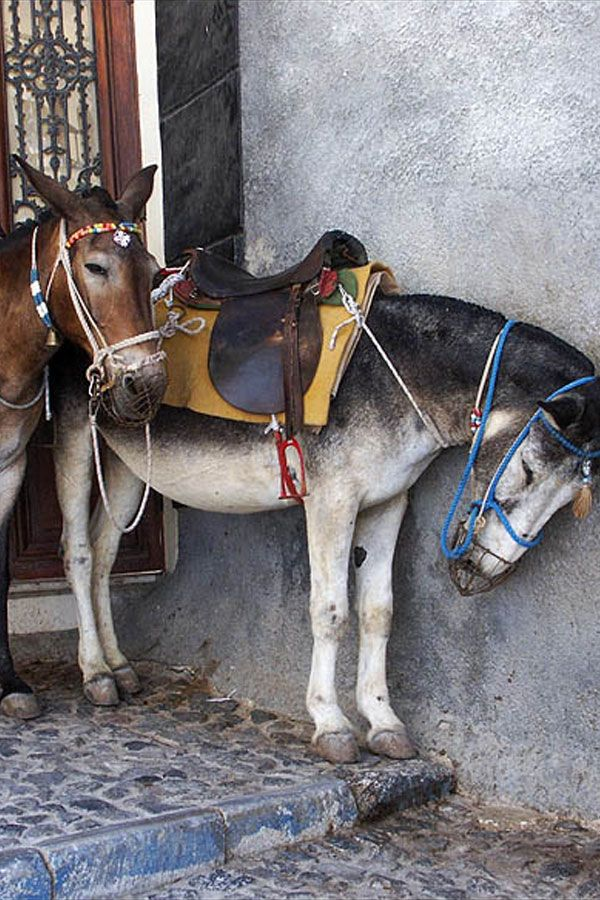 Mules of Santorini, Greece When I was there in the '70s, this was the only way to get to the city.  Oia village, Santorini island, Greece - selected by www.oiamansion.com