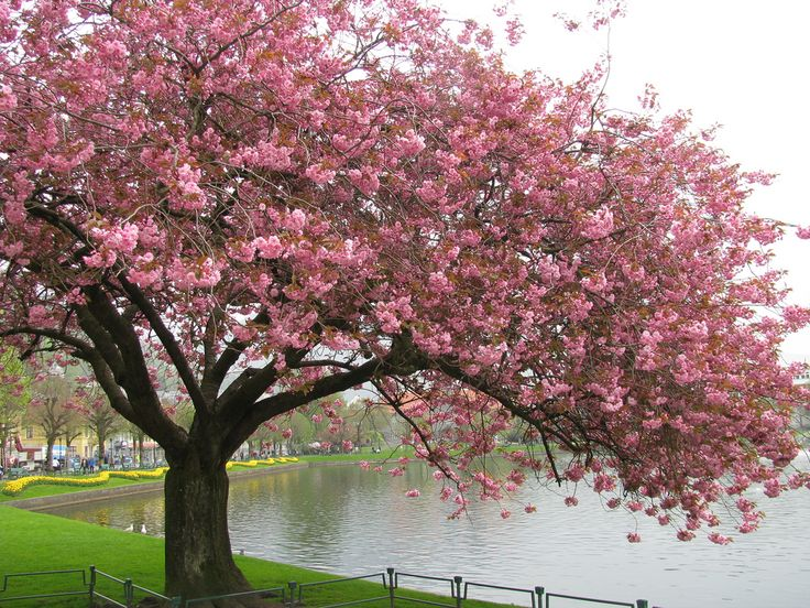 love love love japanese cherry trees for their beautiful blossoms
