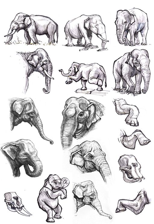 17 best images about elephant anatomy on pinterest
