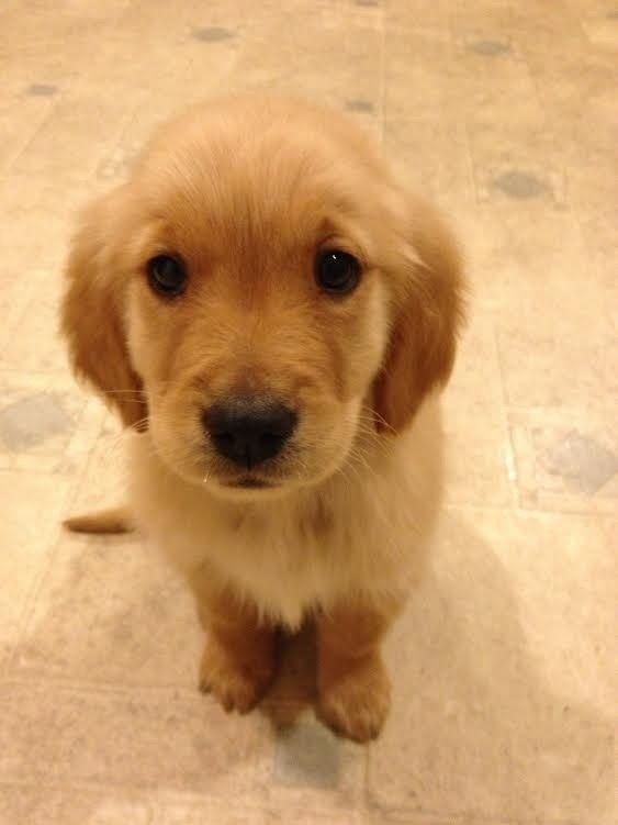 These are the puppy eyes, you will succumb to the puppy eyes. | Community Post: 61 Times Golden Retrievers Were So Adorable You Wanted To Cry