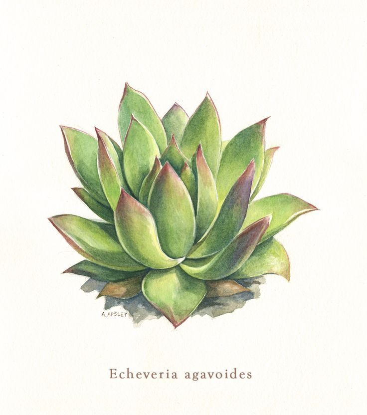 Watercolor botanical illustration - Echeveria agavoides.