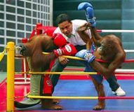 According to news reports, Safari World theme park in Thailand has become a macabre tourist attraction for its orangutan kick boxing matches complete with simian round card girls. The report goes continues, the heavyweights of the jungle duke it out, female orangutans parade around in bikinis displaying the round number.    Thailand  shut down monkey matches; it time they shut down the orangutan matches too.