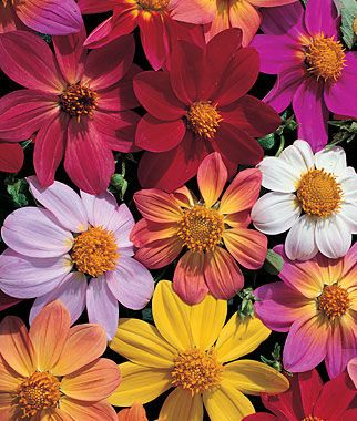 Dahlia, Victoriana Mix.The brightest old-fashioned single dahlias available today.