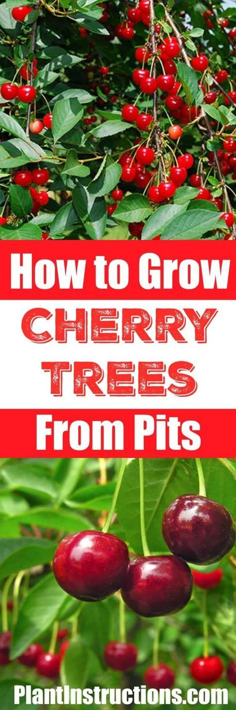 How to Grow a Cherry Tree