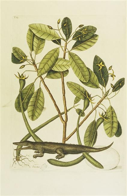 The Alligator Crocodile des Indes Occidentales fig,1; The Mangrove Tree Arbre des Banianes fig,2  From The natural history of Carolina… by Mark Catesby (1731-1743)