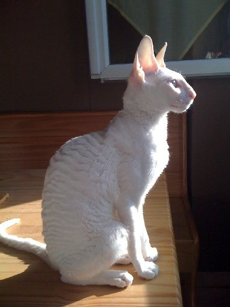 OMG it could be my Toohey.  Beautiful Cornish Rex.