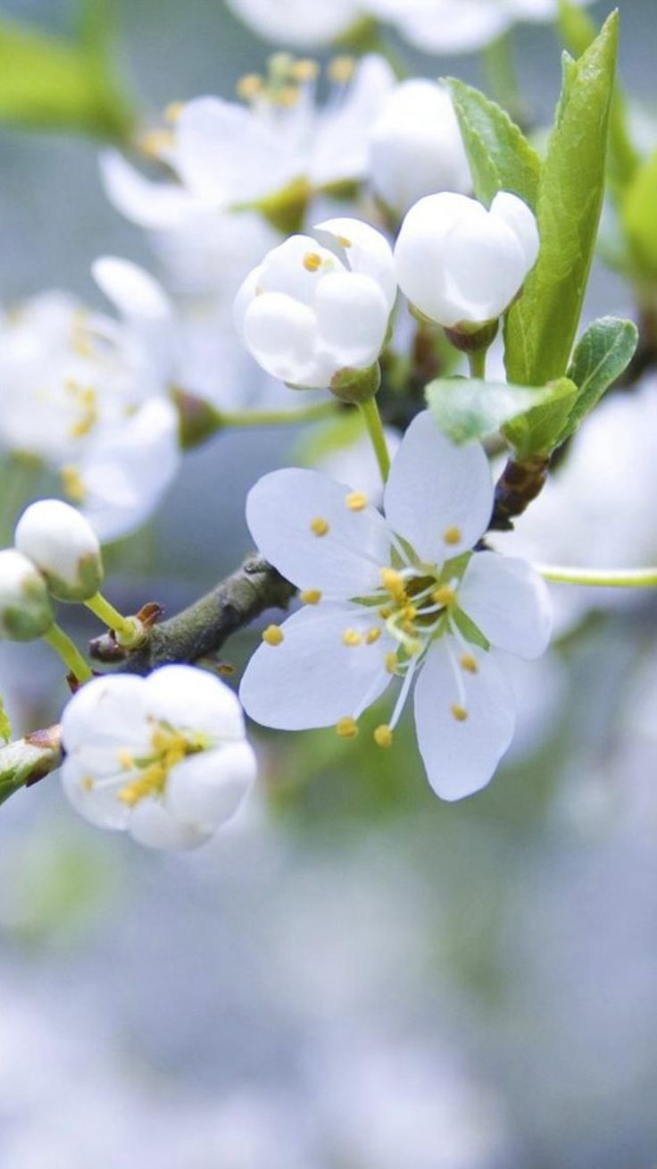 Nature Pure White Flower Bloom Branch IPhone 6 Plus Wallpaper