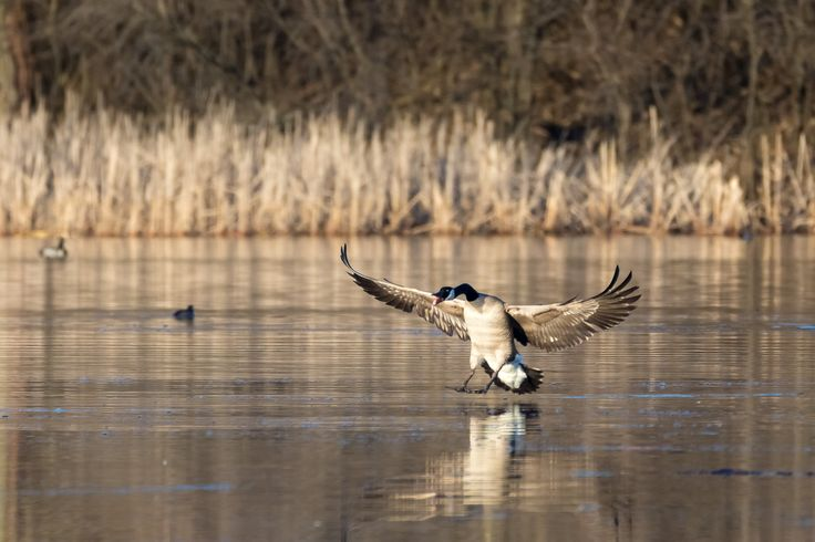 Canadian Goose fighting for territory, coming in hot!  Photographed at the Murphy-Hanrehan Park Reserve in Savage, Minnesota.  http://www.DanielGodinPhotography.com