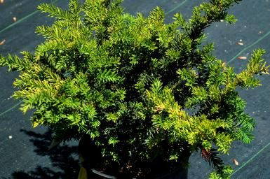 Did You Know That Prince Albert Made the Yew Britain's Christmas Tree?: 'Taunton' yew shrubs are usually in stock during the spring at major nurseries.
