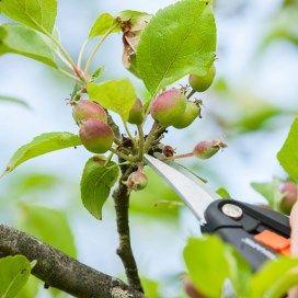 Hand met snoeischaar knipt kleine appeltjes uit een boom.