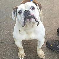 BRONX, NY - BUCKLEY is an ENGLISH BULLDOG for adoption who needs a loving home.