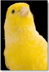 Singing Canary Bird