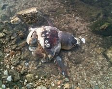 A stranded sea turtle cut in half by a boat strike     check it out at wildlifesense.com