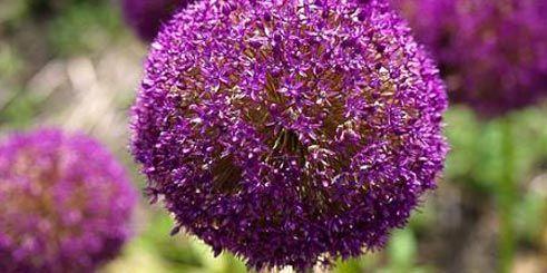 Les 25 meilleures id es de la cat gorie fleurs d 39 allium - Doit on couper les tiges des orchidees ...