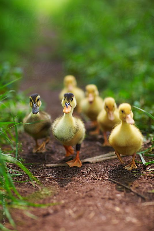 Little Ducklings are so adorable I can't wait to see them again by the waters edge, quack quack!