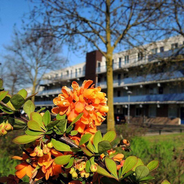 Deze struik viert alvast Koningsdag :) Heerlijk al die lentekleuren in openbaar groen! #Overvecht rond de #klopvaart