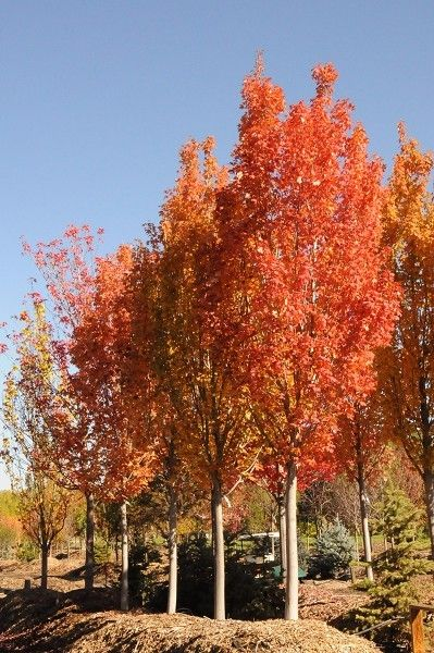 Armstrong Red Maple  Medium to fast growing. Height 40-45', 12-15' wide. Narrow, columnar form. Light green foliage turns yellow to orange red in fall.