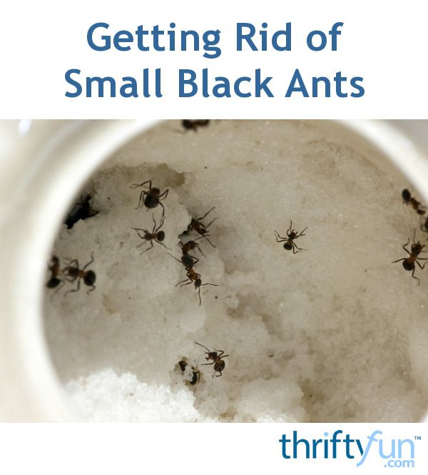 Getting Rid Of Black Ants In The Kitchen