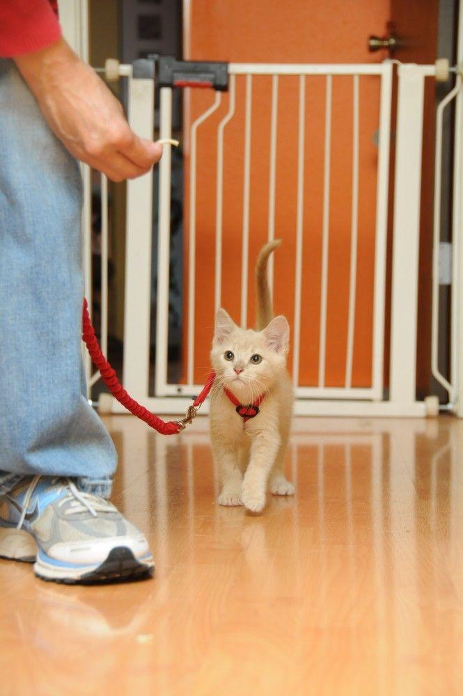 Kitten Socialization: Training a Kitten to Wear a Harness. I'll try her way next time :)