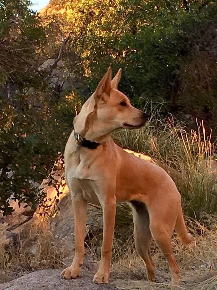 Humane Society - Saving Carolina Dogs Rescue & Adoption Network