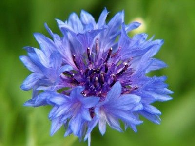 Growing Bachelor Buttons: Tips About The Care Of Bachelor Button Plants - Bachelor button flowers, often called cornflowers, are an old fashioned specimen you may recall from grandmother's garden. Get tips for growing these flowers in this article.