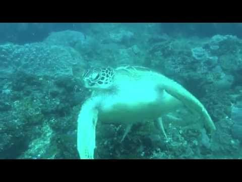 Green turtle at Drop Zone, Ponta do Ouro (southern Mozambique)