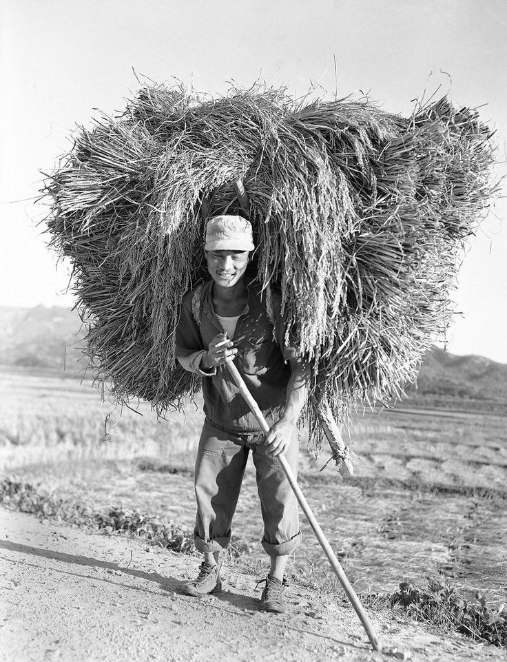 A Korean farmer heads home from the fields with his 'A frame' loaded with the harvested rice on Oct. 20, 1953. (AP Photo/George Sweers)