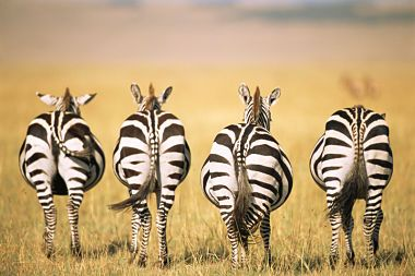 zebra butts