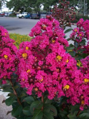 Lagerstroemia indica (Crape Myrtle, Pink Velour)