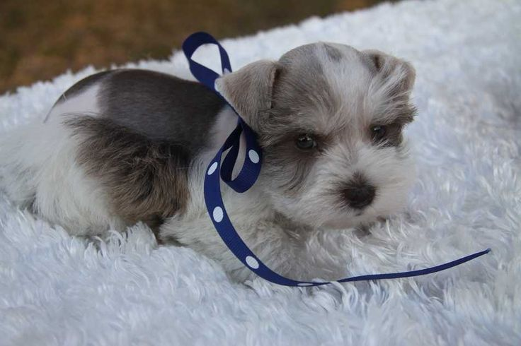 tea cup schaunzers | Pictures of Toy and Teacup Sized Miniature Schnauzers