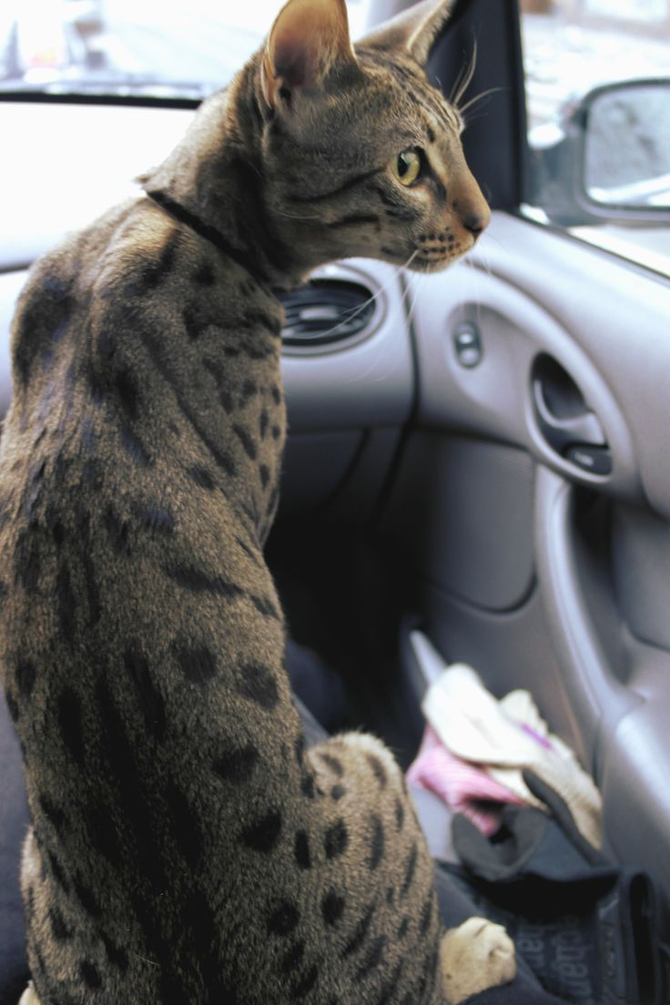 savannah cat in the car