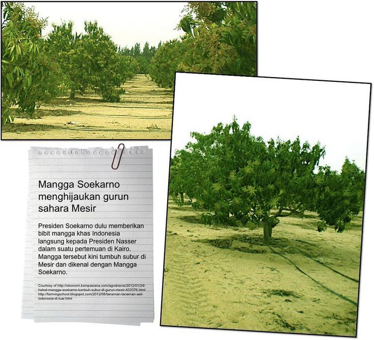 Mangga Soekarno di perkebunan Alexandria Desert Road dan Cairo Ismailia Plantation di kota Kairo