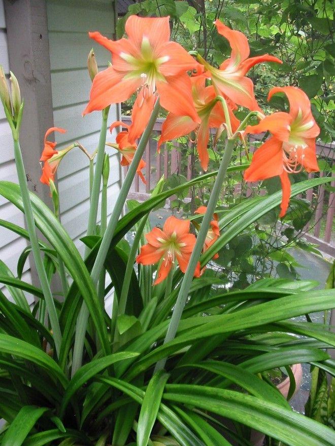 amaryllis in casa o fuori