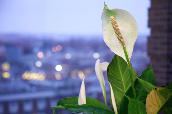 Peace lily (Spathiphyllum) One of the most-reliable indoor plants when it comes to producing blooms, the peace lily sends up shoots with white, sail-like spathes that open to reveal a slender flower. It has lush leaves and can grow up to 3 feet tall. The peace lily is exceptional at removing benzene, formaldehyde, and other harmful VOCs.