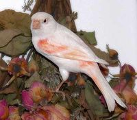 Canary Care and Bird Information for all types of Canaries