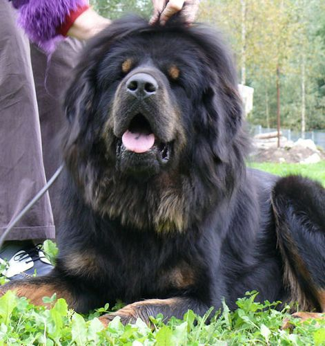Tibetan Mastiff for Sale | ... Mastiff Puppies | Tibetan Mastiff Breeders | Cute Puppies For Sale