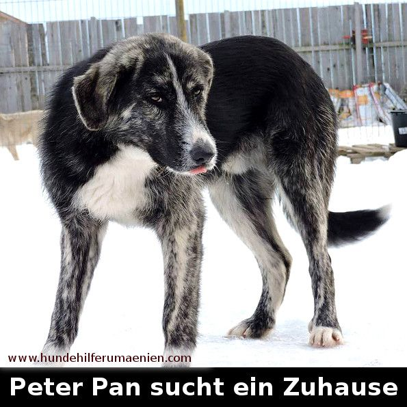 ️ Peter Pan sucht ein Zuhause Peter Pan ist geboren am 27.04.2016 und wird einmal mittelgroß ca 50cm werden.Er ist sehr verspielt und sportlich. Verträglich mit anderen Hunden. Wir können uns Peter Pan sehr gut in einer Familie mit Kindern vorstellen      #zuhausegesucht #suchezuhause  #tierschutz #hundevermittlung #dogoftheday #hunddestages #doglovers #hundefreunde #animalrescue #needhome #welpenvermittlung #tierschutzhund #hundeliebe #hundehilfe #adoptdontshop #adoption #animalshelter