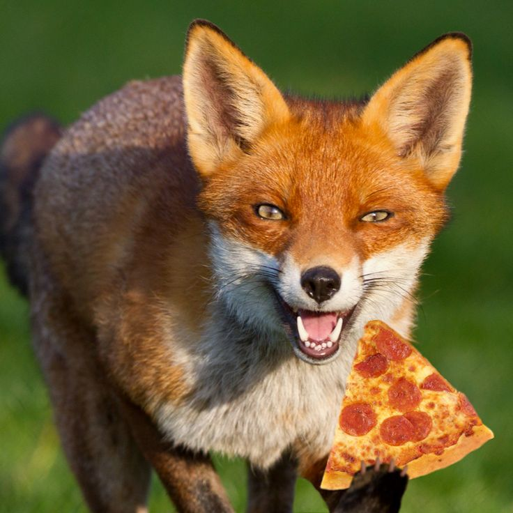 Foxes Eat Pizza. They Cache Excess Pizza, Burying It For