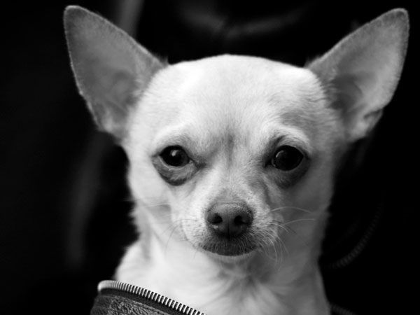chihuahua black and white black and white chihuahua black and whites pinterest 876