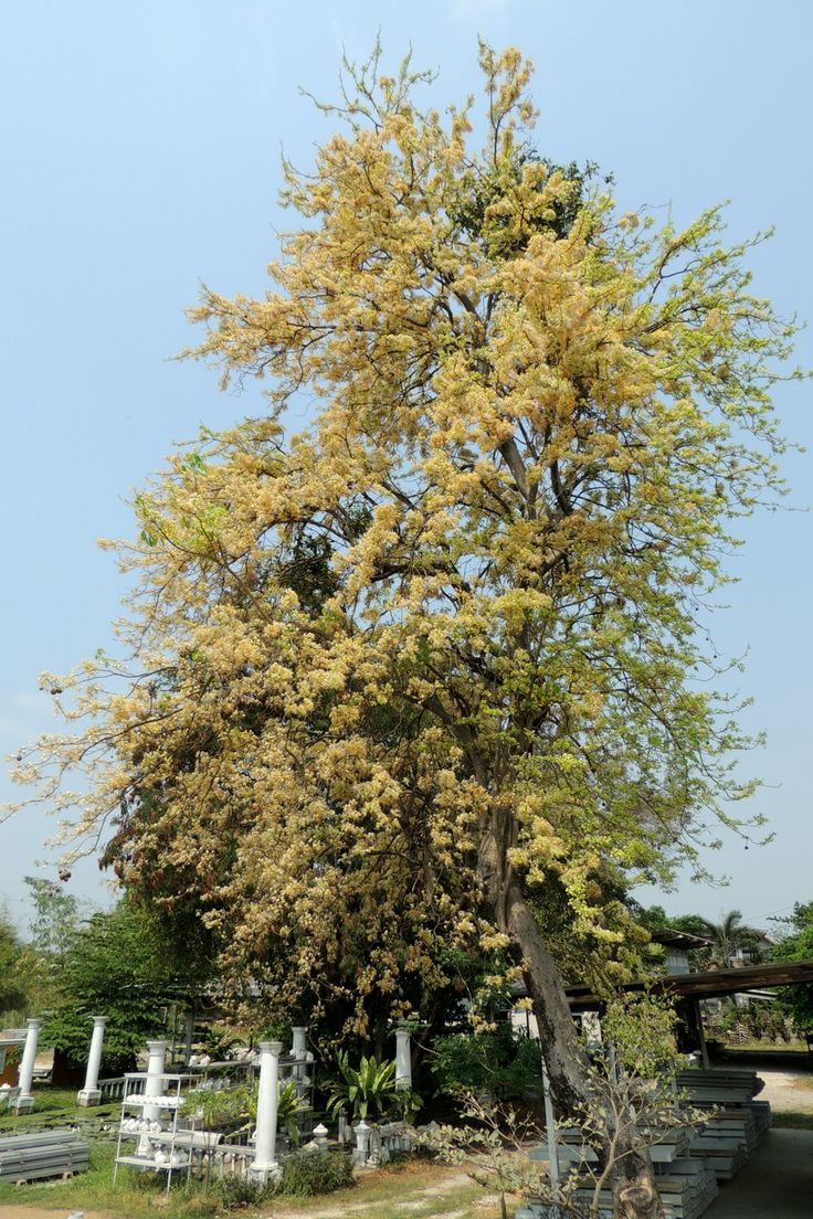 กุ่มบก, ผักกุ่ม, ผักก่าม, กักกุธะ, มารินา (3) : Crateva adansonii DC. subsp. trifoliata (Roxb.) Jacobs