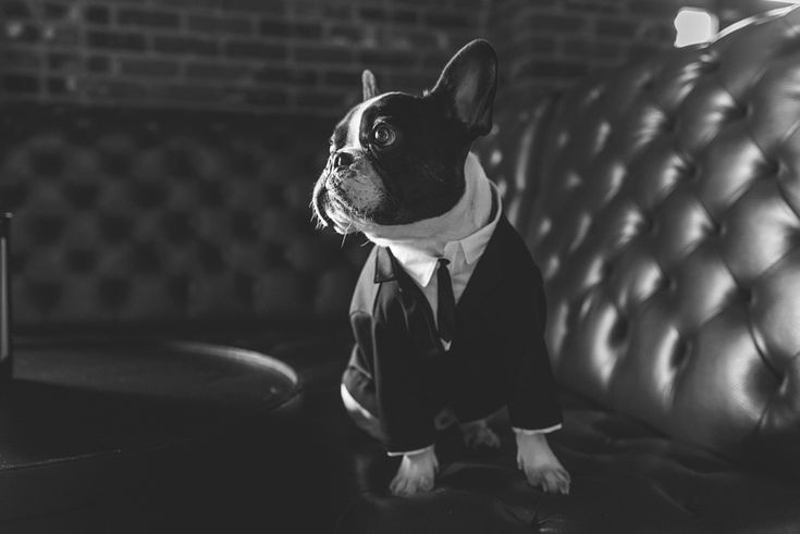 French Bulldog in a Tuxedo at the Hardrock Hotel San Diego Wedding by San Diego photographers Continuum Photography