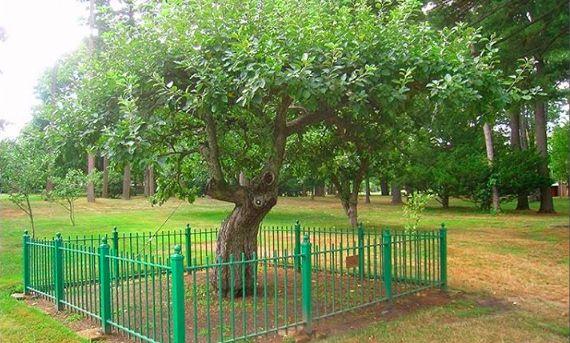 L'albero dai cui Isaac Newton scoprì la gravità è ancora intatto, e si trova fuori dalla scuola che frequentava.